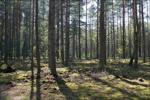 forest-pine-2